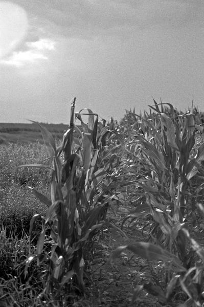 Leaves of Corn